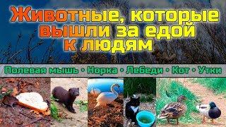 Животные, которые вышли к людям за едой. Лебеди, Утки, Полевая мышь, Норка и Кот.