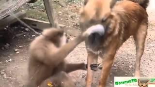 Смешные Обезьяны  и Добрые Собаки! Смешные животные обезьяны