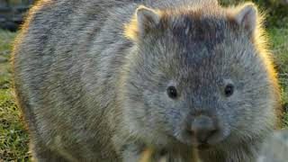 Wombat Facts  Interesting Facts about Wombat  Facts about Wombat