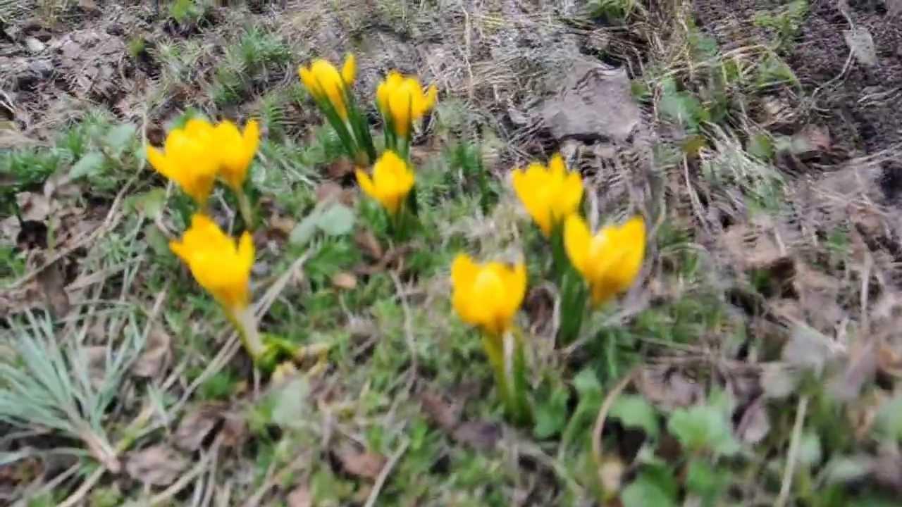 Крокусы в саду. Ранние сорта. Сайт sadovymir.ru