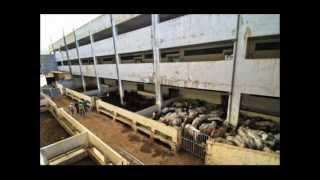 la belle vie des animaux d'élevage