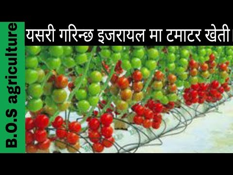isareal agriculture  टमाटर मा कलमी कसरी गरिन्छ र यस् को फाइदा