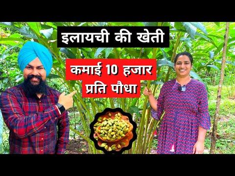 Download इलायची खेती की पूरी जानकारी cardamom farming in india Elachi ki kheti