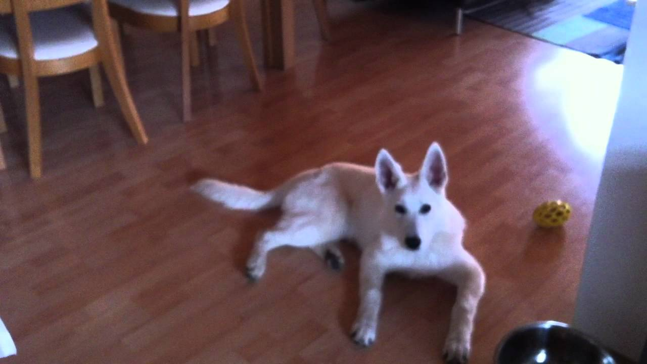white shepherd puppy dog singing a song youtube. Black Bedroom Furniture Sets. Home Design Ideas