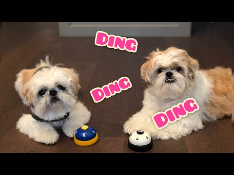 [shih tzu] Tricks and Treats - Ring the bell!