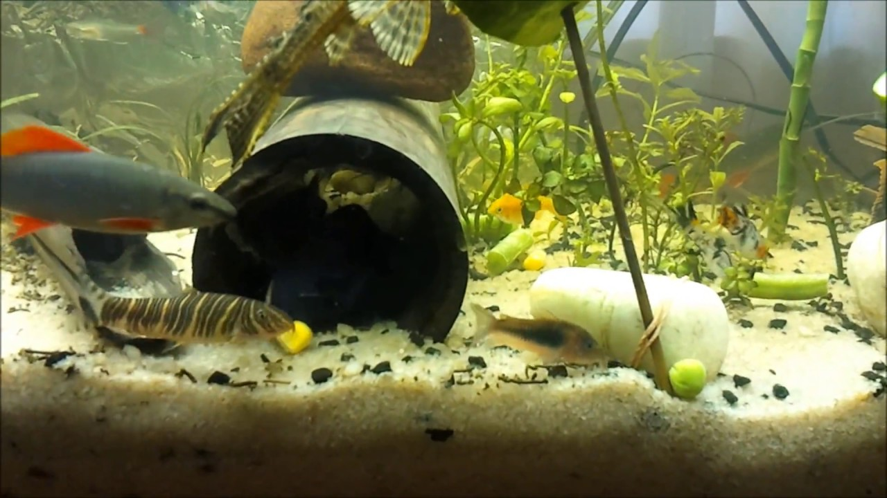 Tropical Freshwater Fish Eating Vegetables - YouTube