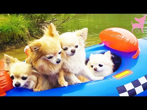 Cute Chihuahua Dogs Swimming and Having Fun at the Beach