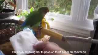 Nana my lovebird (014) Training to poop on toilet paper