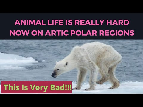 As Arctic sea ice thins, so do polar bears | Full Story