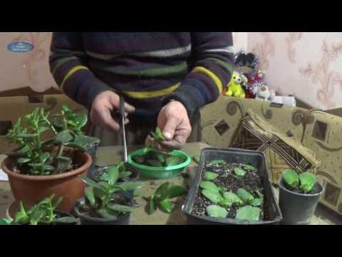 Как пересадить денежное дерево в домашних условиях видео