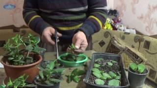 видео Как вырастить денежное дерево?