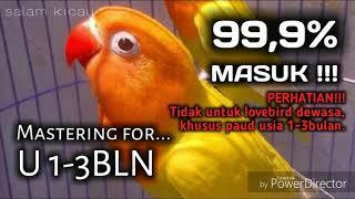 Single Terbaru -  Masteran Lovebird Khusus Usia U1 3bulan