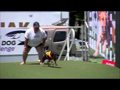 Diving Dog 2nd Place - Incredible Dog Challenge 2015 Boston, MA