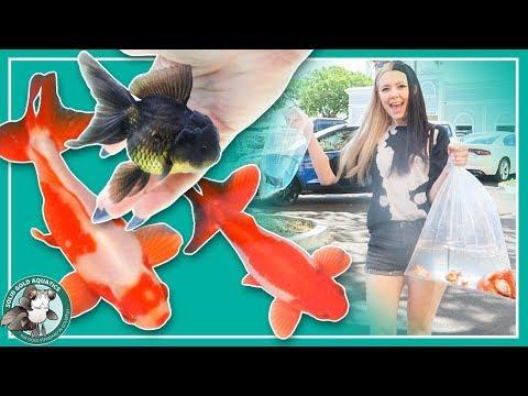 My 13 New Goldfish! (wakin, Watonai, Hibuna & Oranda)