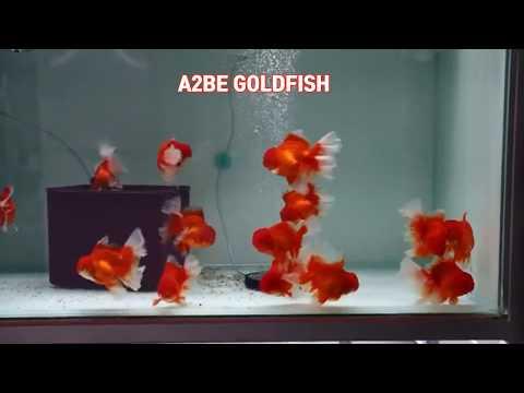 Goldfish Kingdom, Rose Tail Oranda