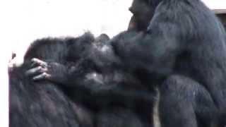 ヒトに一番近いチンパンジー。 東山ではそんなチンパンジーたちの知能の...