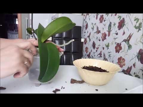 пересадка орхидеи....пора...