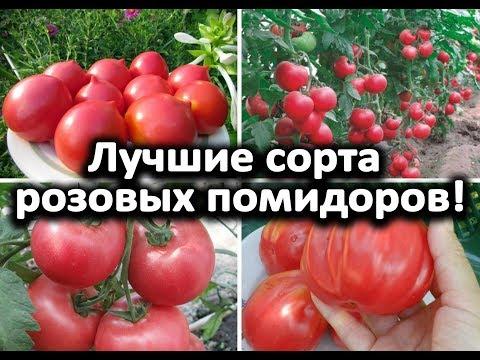 Лучшие сорта розовых помидоров! | помидоров | помидоры | теплице | розовых | розовые | помидор | лучшие | сорта | с | в
