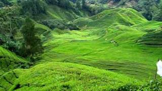 Tea Plantation in Cameron Highland (2)