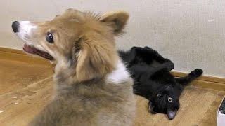 Roku Vs. Kuro / ロクさん対クロさん 20150804 Welsh Corgi Puppy Kitten 子犬 子猫 Dog Cat