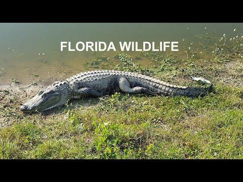 TOP 10 MOST DANGEROUS ANIMALS IN FLORIDA