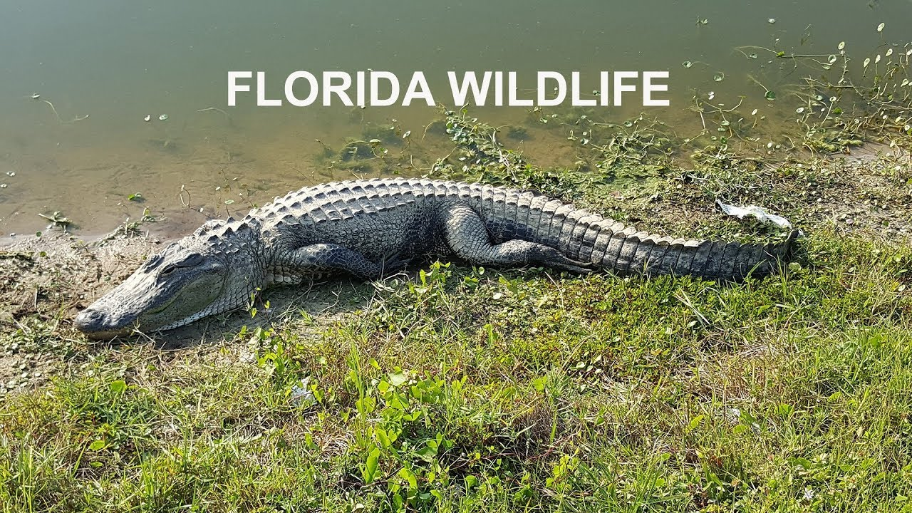 Download TOP 10 MOST DANGEROUS ANIMALS IN FLORIDA