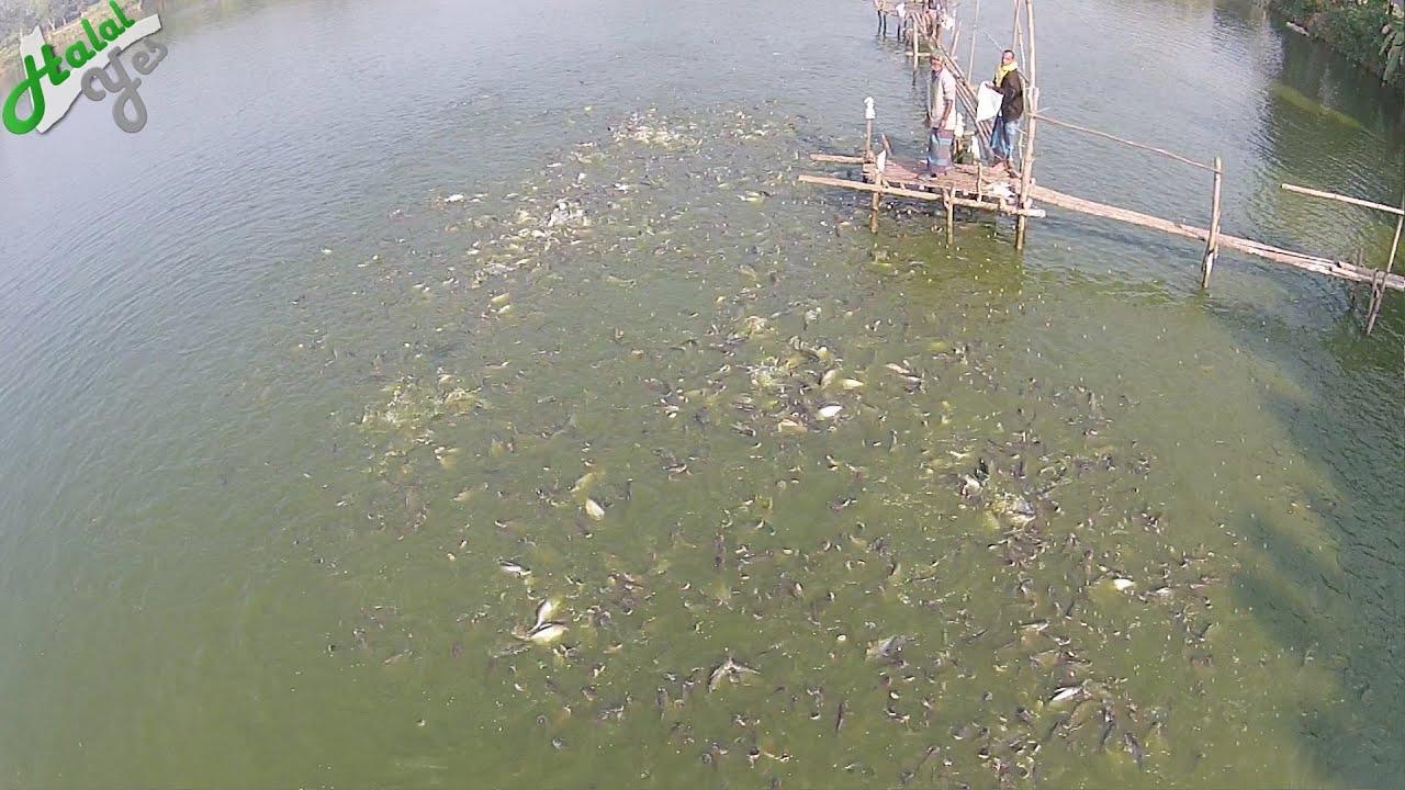 লক্ষ লক্ষ মাছ - Millions of Fish in Bangladesh Fish Farm - Aerial Video
