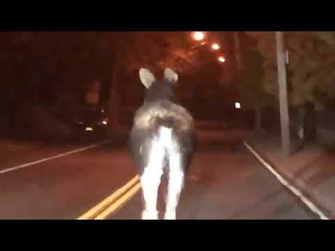 Moose cow on the loose, travels through small Upstate NY city (video)
