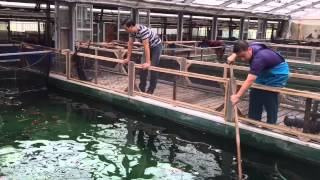 Mua cá koi tại Sakai fish farm.Ruby koi farm - Viet Nam
