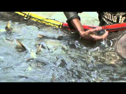 Fish Farm Chatak Bangladesh