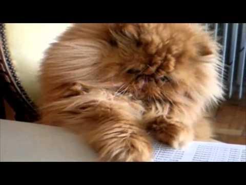 Gatos persas y sus variedades  Las mejores mascotas, tiernos y amistosos