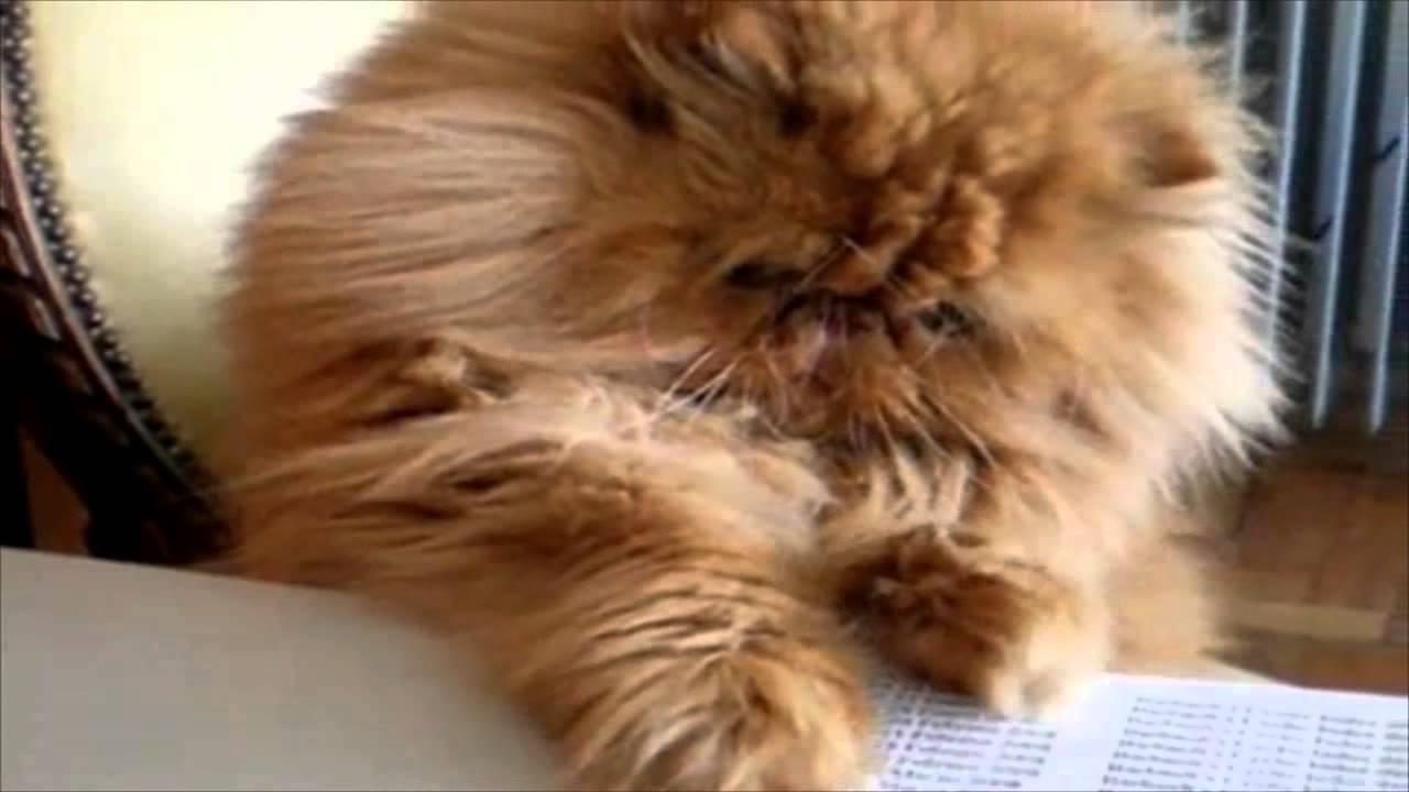 Gatos Persas Y Sus Variedades Las Mejores Mascotas