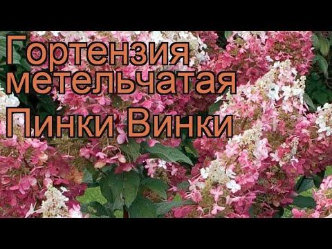 Гортензия метельчатая Пинки Винки (pinky winky) 🌿 обзор: как сажать, саженцы гортензии Пинки Винки