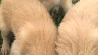Golden Retriever Puppies For Sale In Kirkwood Pa
