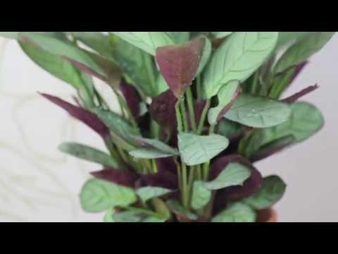 Chamaedorea doovi for Prayer palm plant