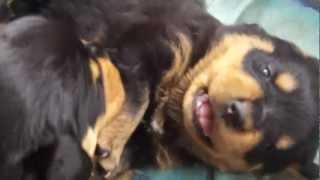 Rottweiler petit chahutage