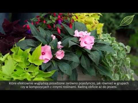 fd94e6080f8592 Fuksje i niecierpki na balkony i tarasy - kwiaty balkonowe - YouTube
