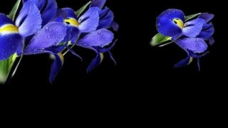 футаж цветы9 Proshow Producer Free, слайд шоу, слайд программа