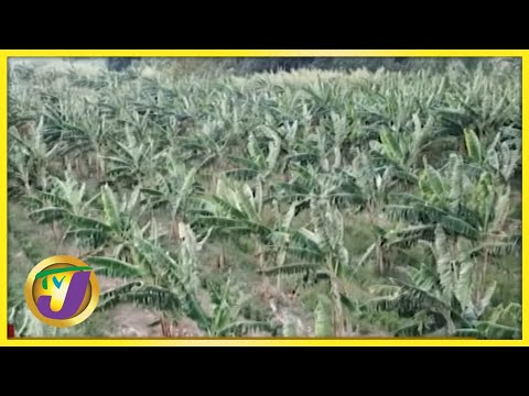 Farmers in Jamaica to Get 15% Discount on Fertilizer | TVJ Business Day - Sept 23 2021
