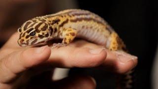 7 Care Tips For Leopard Geckos | Pet Reptiles