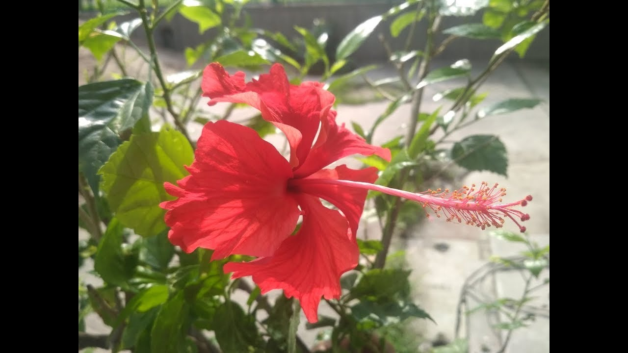 How To Get More Flowers In Hibiscus Plant Hindi गडहल पर