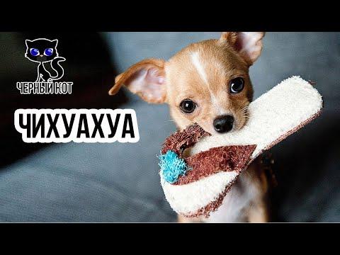 Чихуахуа - самая крохотная собака / Интересные факты о собаках