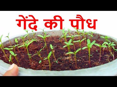 गमले में उगाये गेंदे की पौध /How to Grow Marigold Seedling/Winter Flower- 1 Oct 2017/Mammal Bonsai