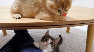 Kitten Coco is jealous of shrimp
