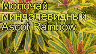 Молочай миндалевидный Ascot Rainbow. Краткий обзор, описание характеристик, где купить рассада