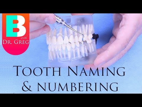 [BRACES EXPLAINED] Tooth Numbers & Names