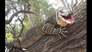 Very Large Goanna, Lace Monitor Lizard in tree, right next to our camp.