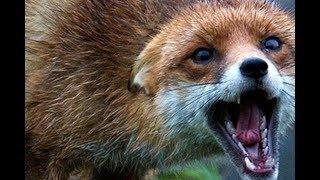 Бешенство лис, видео для зоозащитников .