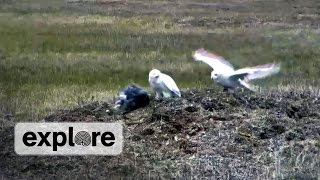 EXPLORE HIGHLIGHT   Male parent delivers lemming to owlet, Female parent looks on   July 23, 2014.