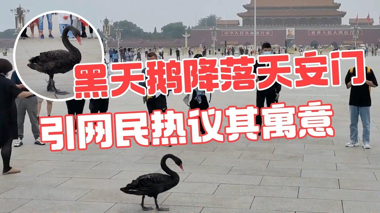 黑天鹅降落天安门引网民热议其寓意- YouTube
